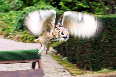 owl in flight (1 of 1)
