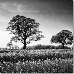 Two trees bw